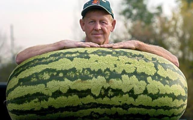 Согласно Книге Рекордов Гиннесса, самый тяжелый арбуз был выращен Крисом Кентом из США в 2013 году.