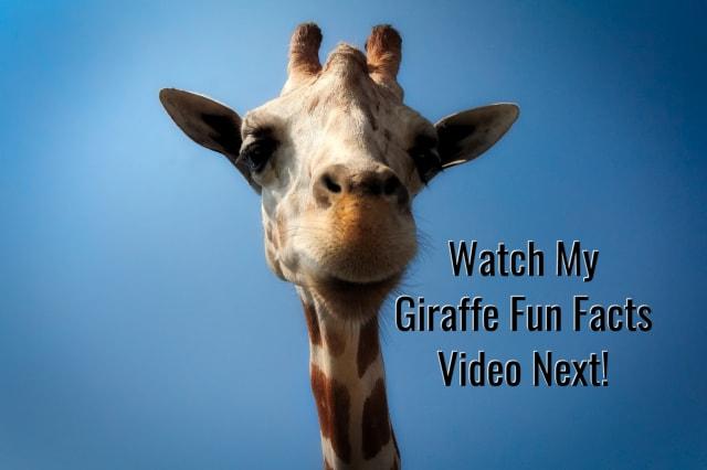 Fun Giraffe Facts   from  AmuzeMe.com