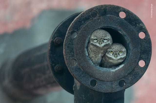 Pipe owls by Arshdeep Singh, India