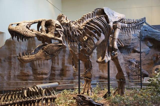 Reconstrucción del esqueleto del espécimen holotipo (CM 9380) de Tyrannosaurus rex del Museo de Historia Natural Carnegie,  Pittsburgh .-