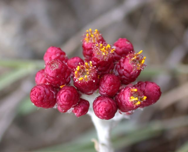 Photo: Gideon Pizanty; the red leaves are actually the outer covering, the flower itself is yellow