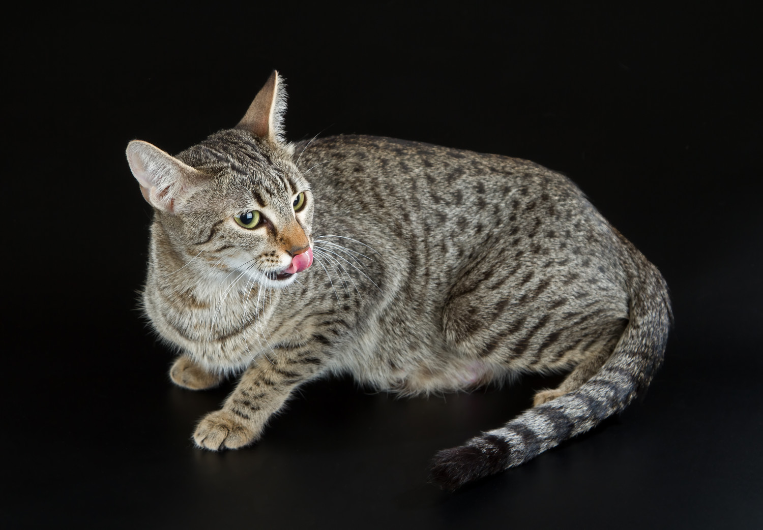 Rarest domestic cat breeds in the world. | Playbuzz